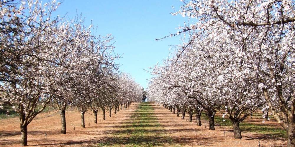 Almond-trees-flowers-fruit-doctors-loxton-e1413164792181