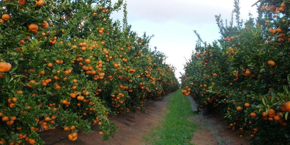 citrus-fruit-doctors-loxton-e1413164741387